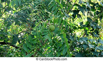 Black walnuts in tree
