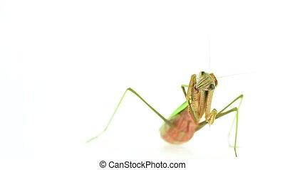 Praying mantis grooming footage