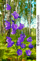 bluebell in forest - Birches in summer forest with bluebell...