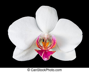 Big orchid with purple, isolated on a black background