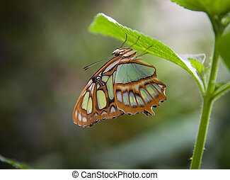 malachite butterflies Siproeta stelenes on leaf