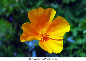 Bright yellow flower poppy on a background of green leaves