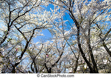 Blossoming cherry trees in an garde