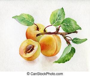 Watercolor illustration of peaches