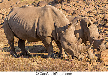 Rhinos grazing - Two Rhinos grazing in the dry savannah...