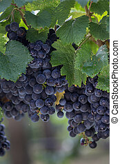 Close Up of Red Wine Grapes Hanging on the Vine