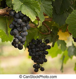 Close Up of Red Wine Grapes Hanging on the Vine on a Sunny...