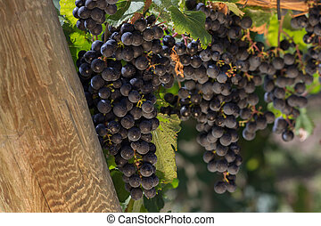 Close Up of Sun Lit Red Wine Grapes Hanging on the Vine