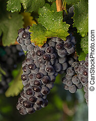 Close Up of Wet Sun Lit Red Wine Grapes Hanging on the Vine