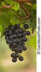 Cluster of Red Wine Grapes Hanging on the Vine on a Sunny...