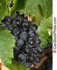 Cluster of Wet Red Wine Grapes on the Vine