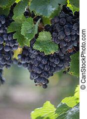 Malbec Grape Clusters