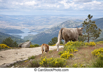 Two cows grazing in the mountain - Two cows grazing in...