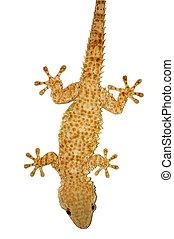 gecko, lagarto