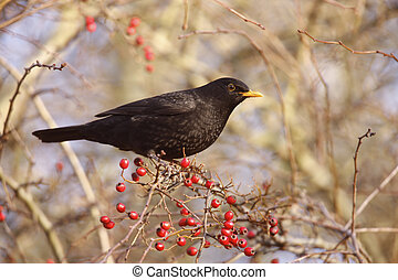Blackbird Turdus merula, male on hawthorn berries, Midlands,...