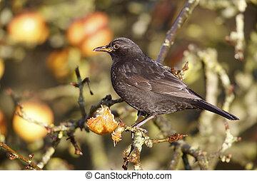Blackbird Turdus merula, male on apples, Norfolk, Winter...