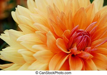 Beautiful yellow dahlia - Close-up image of beautiful yellow...