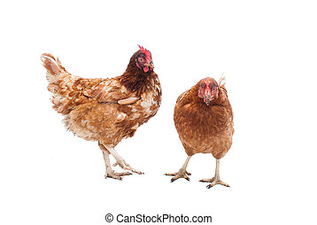 Battery Hens - Two battery hens on a white background