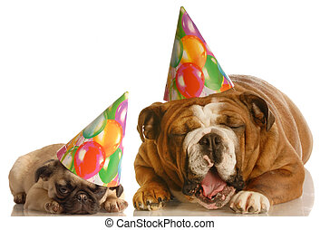 funny birthday dogs - an english bulldog and a pug wearing...