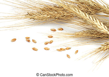 Wheat ears and grains isolated on white background