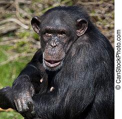 Chimpanzee - Zambia - A female Chimpanzee (Pan troglodytes)...