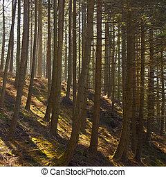 boompje, plantatie, -, Wales, -, verenigd, koninkrijk