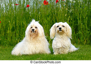 Two dogs in the natur - Two dogs is posing on green grass....