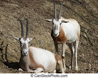 oryx couple resting