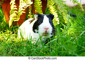 Guinea pig in a green grass
