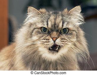 persian cat - funny looking persian cat