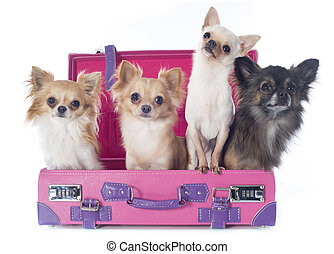 chihuahuas in suitcase - portrait of a cute purebred...