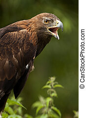 Golden Eagle (Aquila chrysaetos) - Scottish Highlands -...