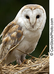 Barn Owl - A barn Owl (Tyto alba) in North Yorkshire in the...