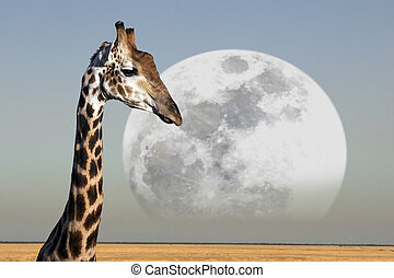 Moon rising over a Giraffe in Etosha National Park in...