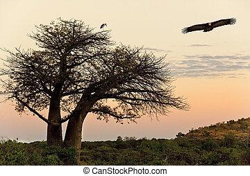 Baobab Tree - Savuti in Botswana - Lappetfaced Vulture...