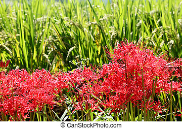 spider lily - Red spider lily, lycoris radiata, cluster...