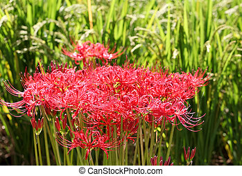 Red spider lily, lycoris radiata, cluster amaryllis,...