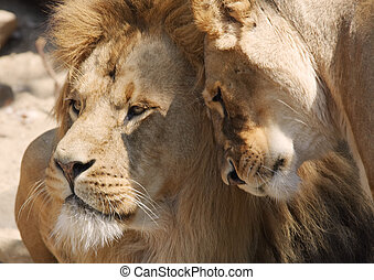 love - lions in love