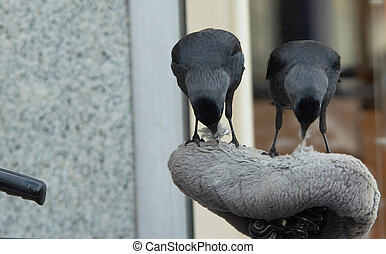 funny birds - a unique picture of two crows getting nest...