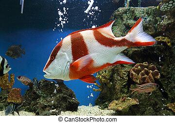 red emperor (Lutjanus sebae) in aquarium