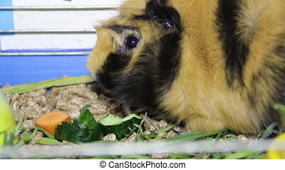 eating guinea pig - guinea pig eat the cucumber