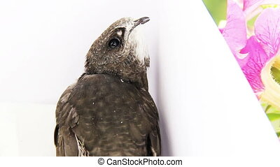 young common swift - close-up young common swift (apus apus)...
