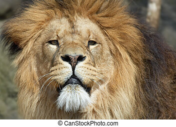 african male lion - male lion looking straight at the camera