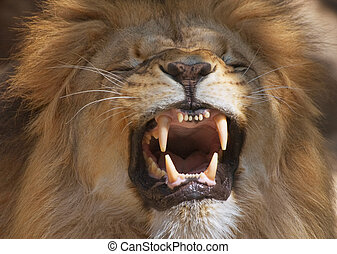 Lion - Male lion showing its teeth