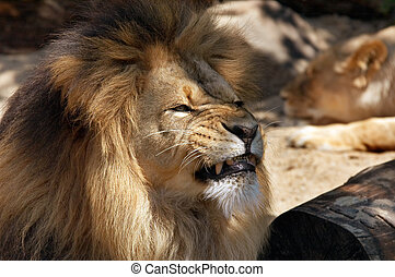 Lion - Angry Male lion