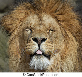 Lion - A very unusual look for a lion