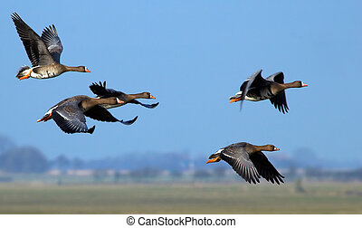Flying geese - Geese in flight