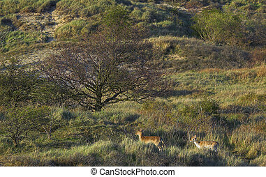 wild deer in the netherlands - Wild deer in the dunes