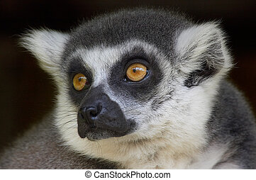 Ring-tailed lemur - cute looking ring-tailed lemur monkey