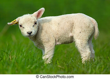 Cute sheep - cute baby sheep